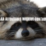 Wildlife Control Toronto - DO RACCOONS CARRY RABIES