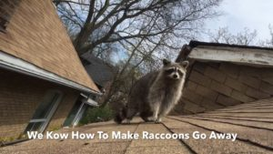 raccoon removal experts Toronto