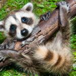 WILDLIFE CONTROL TORONTO - raccoon removal