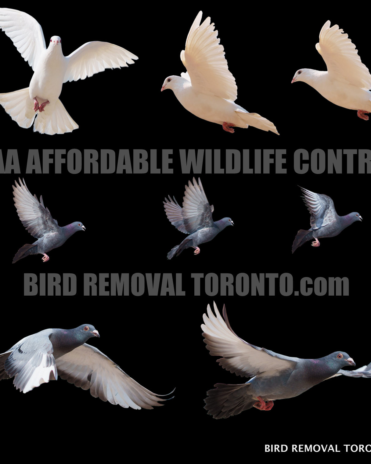 Call our Pigeon Removal Toronto Experts.