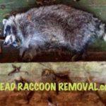 dead raccoon removal