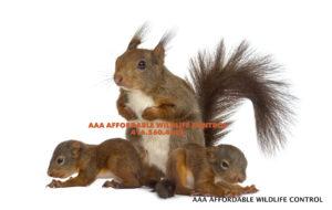 wildlife control, Squirrel Baby Removal Toronto