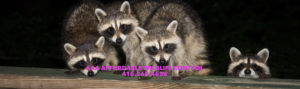 RACCOON REMOVAL TORONTO - AAA Affordable Wildlife Control