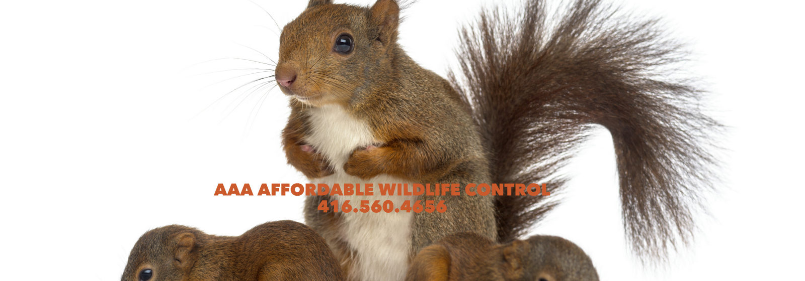 SQUIRREL REMOVAL TORONTO - Squirrel Control Toronto, Wildlife Removal Toronto
