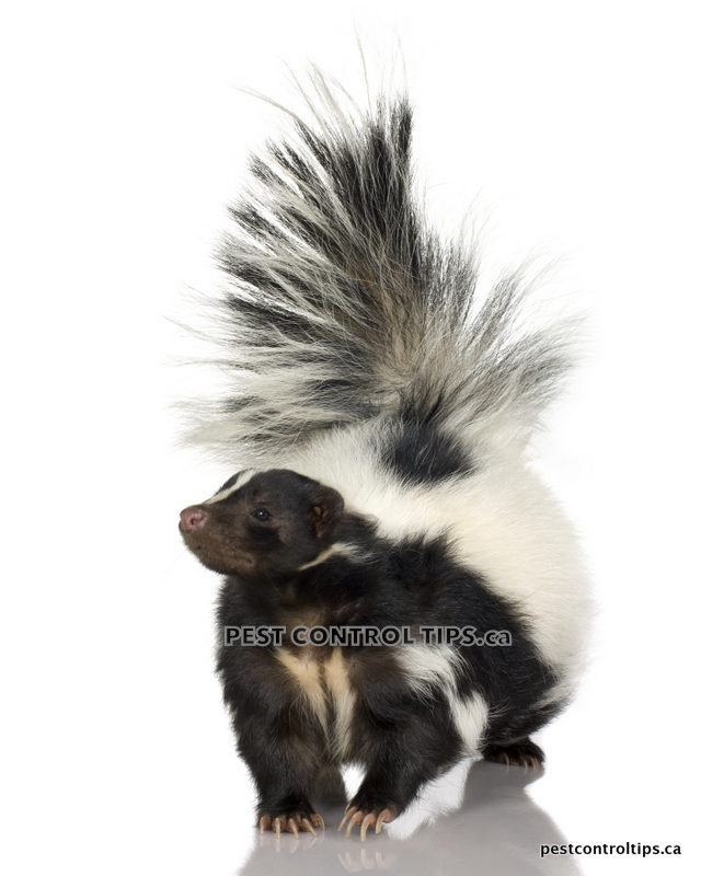 SKUNK REMOVAL  - RACCOON, SKUNK & SQUIRREL REMOVAL
