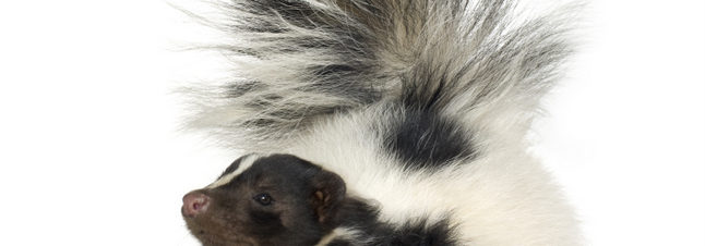 SKUNK REMOVAL TORONTO - AFFORDABLE SKUNK REMOVAL TORONTO, WILDLIFE CONROL TORONTO